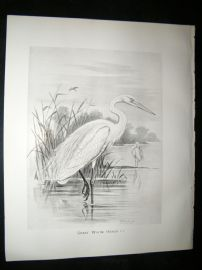 Frohawk 1898 Antique Bird Print. Great White Heron